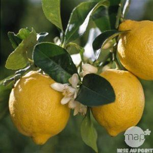 Citronnier, Citrus Limon - Truffaut