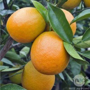 Oranger, citrus sinensis - Truffaut