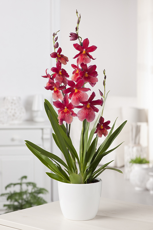Orchidée, Cambria Nelly Isler - Jardiland