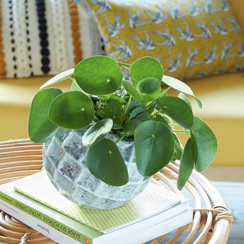 Piléa, plante monnaie - Truffaut