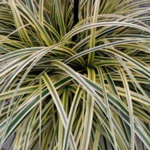Leader Plant - graminée Carex