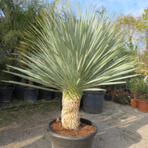 achat-vente-palmiers - Yucca Rostrata Blue Swan