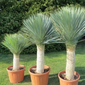 achat-vente-palmiers - Yucca Rostrata